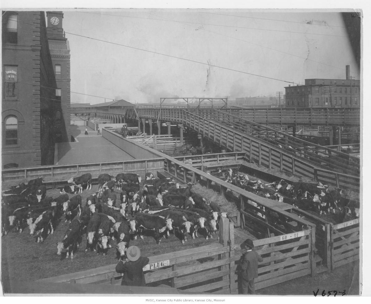 men looking into livestock pens filled with cattle.