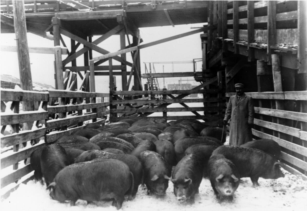 Stockyards worker with hogs
