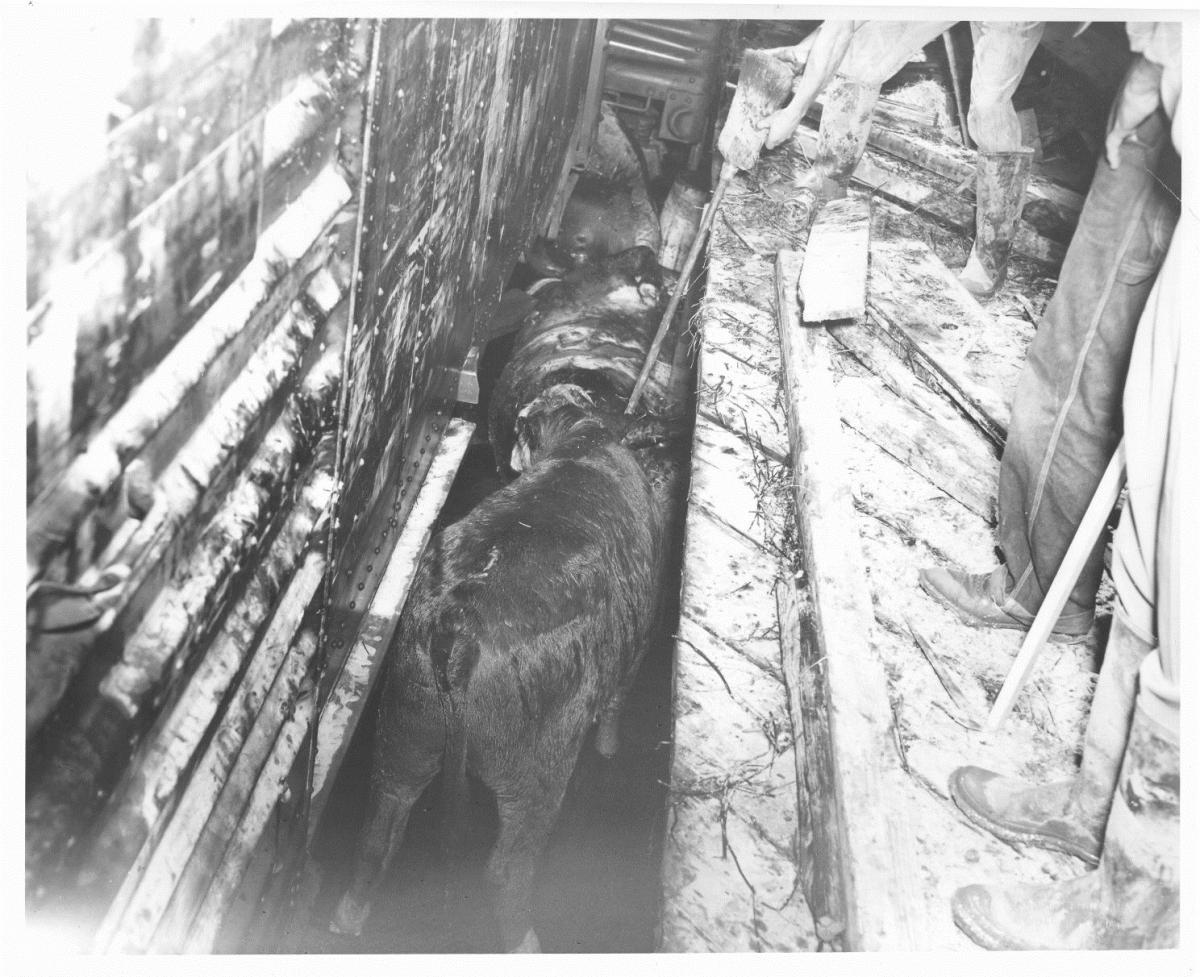 Stockyards workers prodding cattle with broom handles.